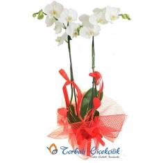 İki Dallı Orkide