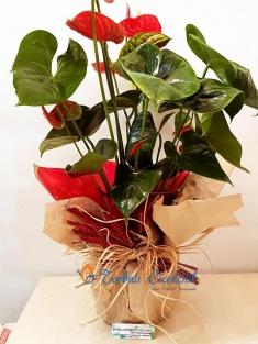 Antrium Saksı Çiçeği