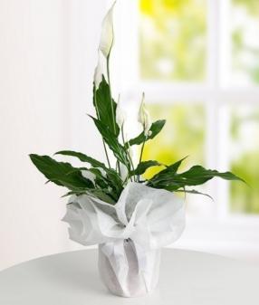 SPATIFİLYUM (Barış Çiçeği) b