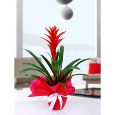 Guzmanıa saksı çiçeği