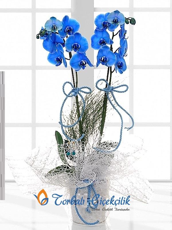 2li Mavi Orkide