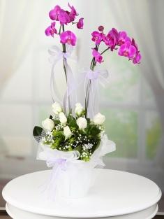 Saksıda Mor renkli İki Dallı Orkide