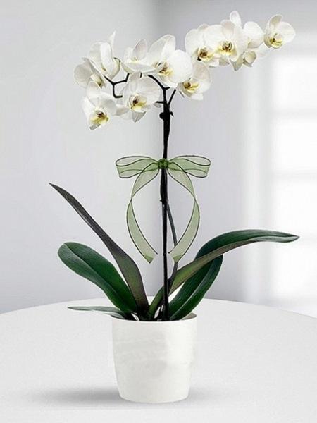 Beyaz Bahçe Yüksek Boylu Tek Dal Orkide